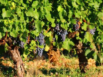 La vignes est très présente en Sud-Ardèche